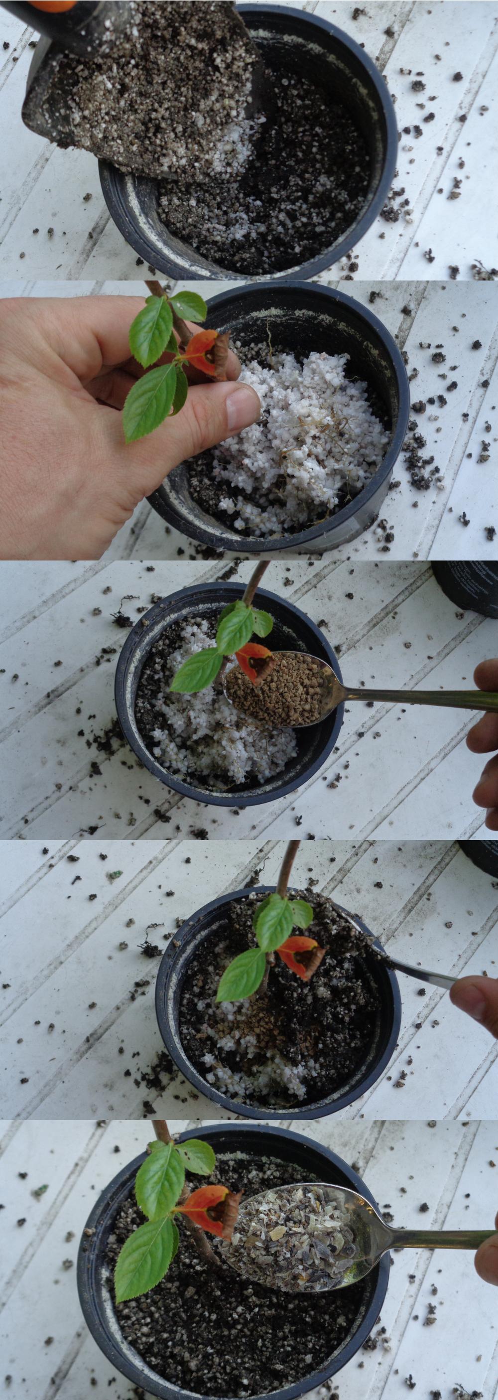 Aronia vermehren - Jungpflanze in den Topf