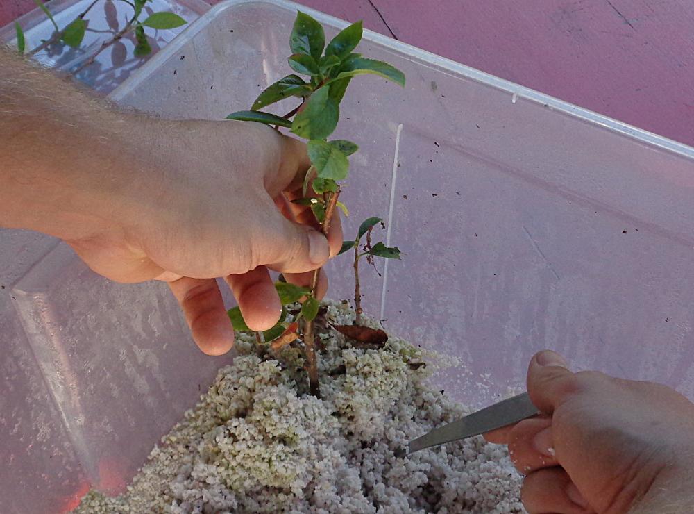 Aronia vermehren - Steckling amputieren