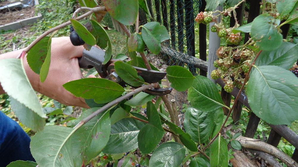 Aronia vermehren - Zweig abschneiden