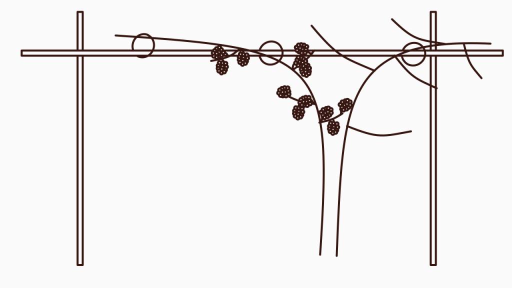 Frühjahrspflege für Brombeeren – Alter Trieb mit Früchten
