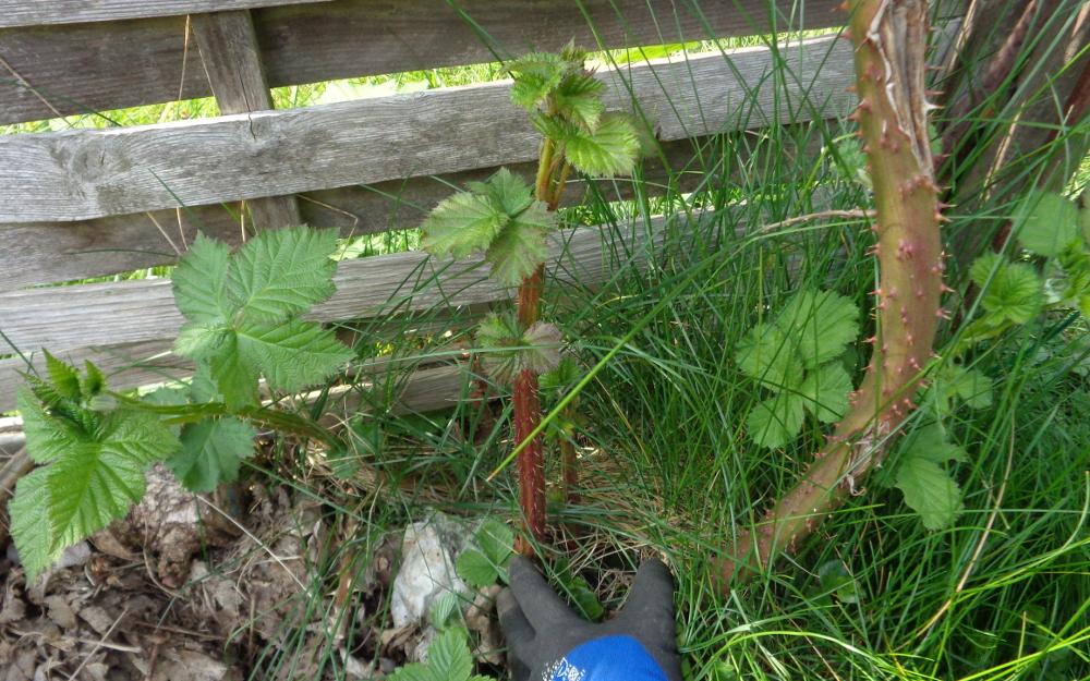 Frühjahrspflege für Brombeeren – Alter neben jungem Trieb