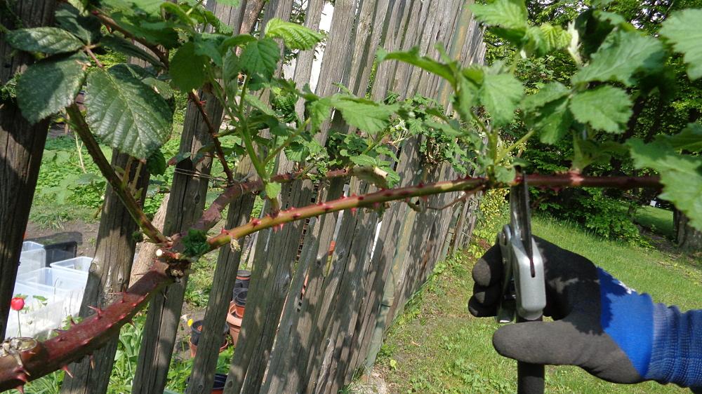 Frühjahrspflege für Brombeeren – Fruchttriebe kürzen