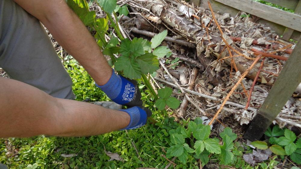 Frühjahrspflege für Brombeeren – Überschüssige Triebe ausreißen