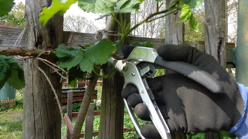 Frühjahrspflege für Brombeeren – Werkzeuge