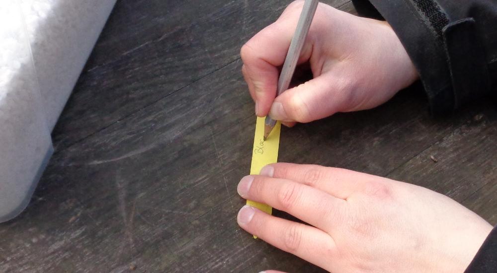 Goldjohannisbeere vermehren – Beschriften