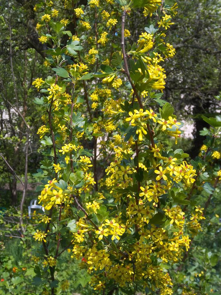 Goldjohannisbeere vermehren – Blickfang