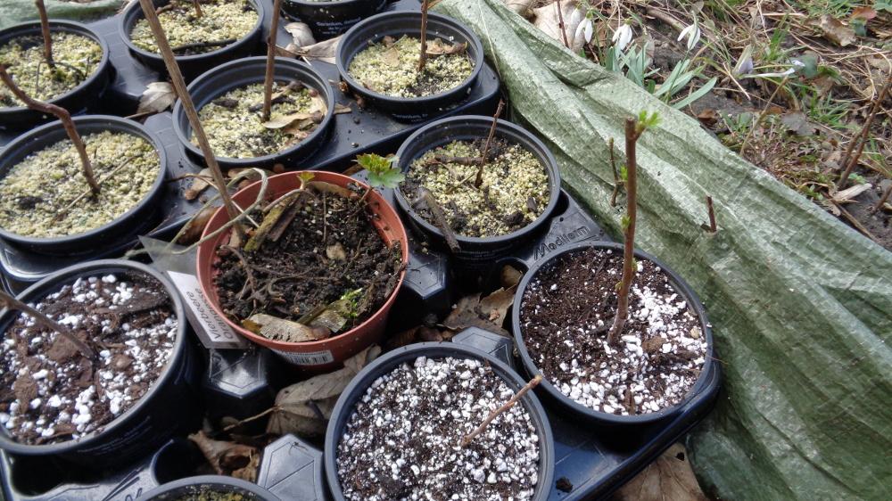 Goldjohannisbeere vermehren – Jungpflanzen