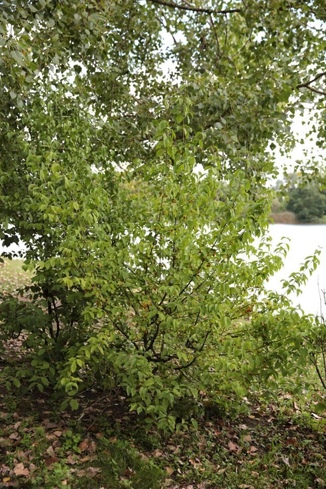 Kornelkirschen am Silbersee