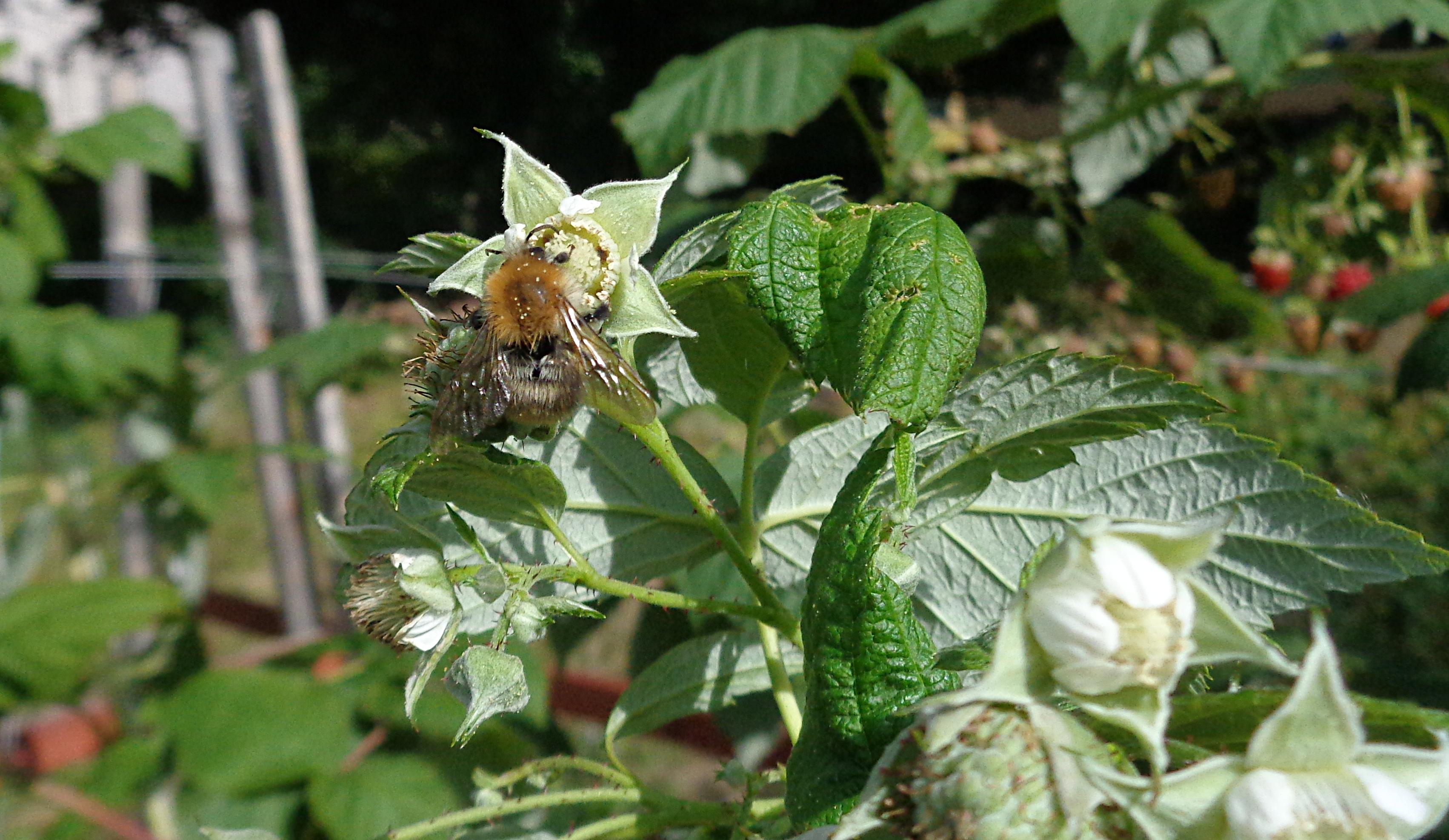 Herbsthimbeeren pflegen - Biene an Blüte