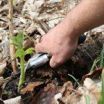 Obstgehölze hegen und pflegen – Frühjahrspflege für Herbsthimbeeren