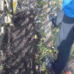Obstgehölze hegen und pflegen – Schwarze Johannisbeere pflanzen