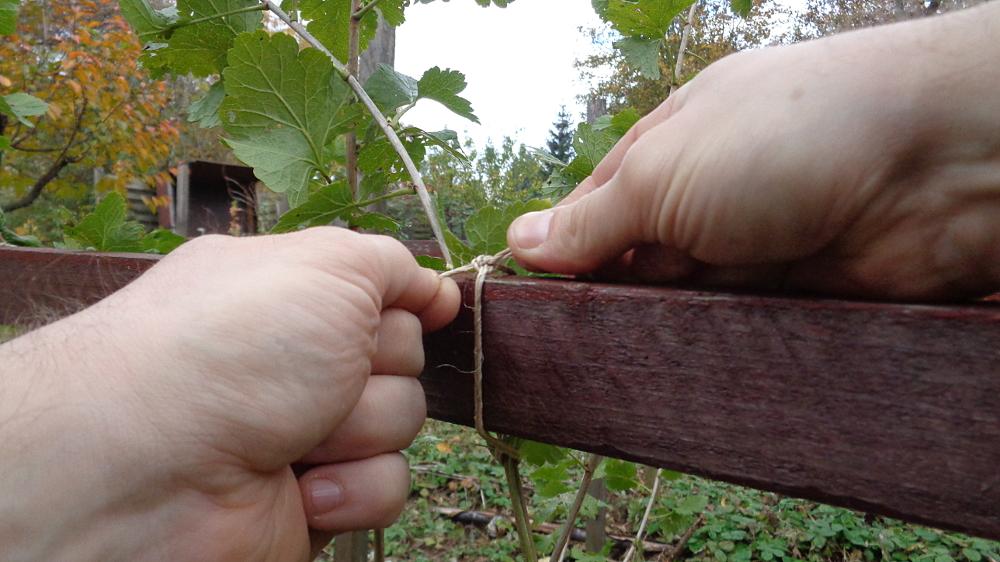 Jostabeere ans Spalier pflanzen – Anbinden