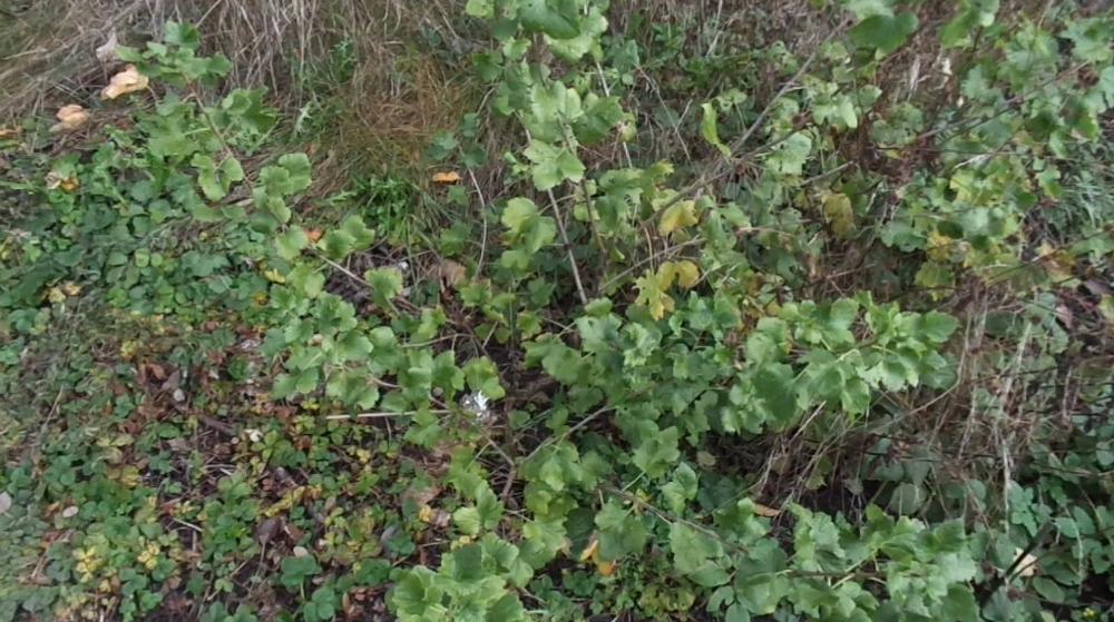 Jostabeere ans Spalier pflanzen – Jostabeere als Busch