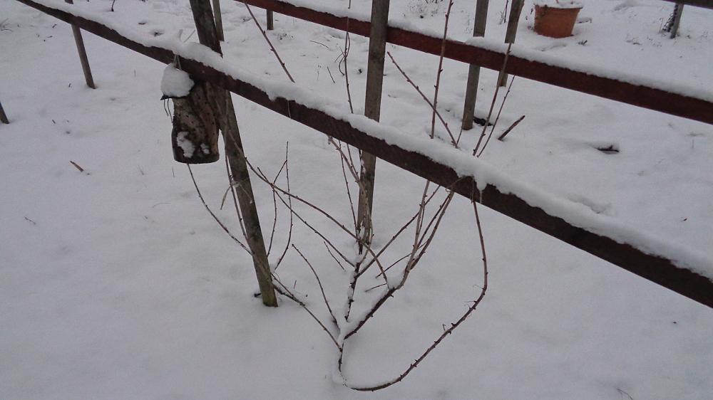 Jostabeere ans Spalier pflanzen – Jostabeere im Winter vor Schnee