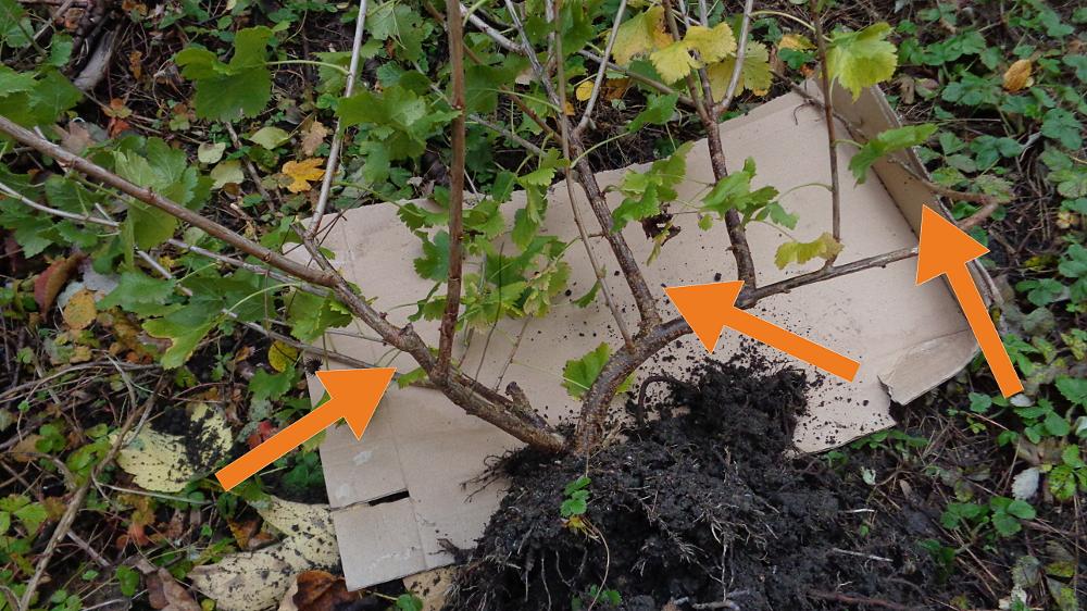 Jostabeere ans Spalier pflanzen – Markierte Haupttriebe