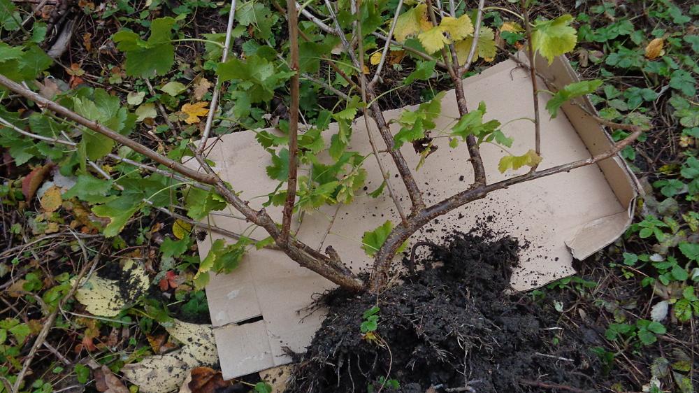Jostabeere ans Spalier pflanzen – Überblick verschaffen