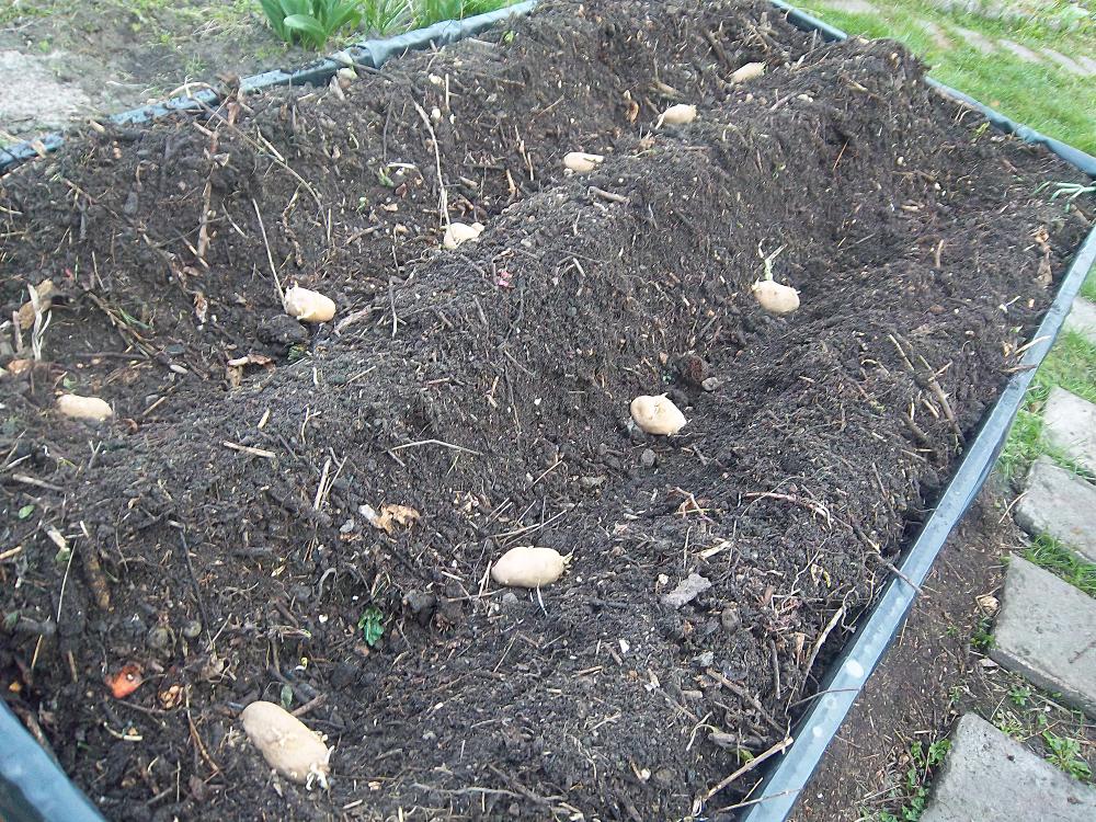 Kartoffelpuffer aus der Gartenkueche - Sieglinde in Reih und Glied