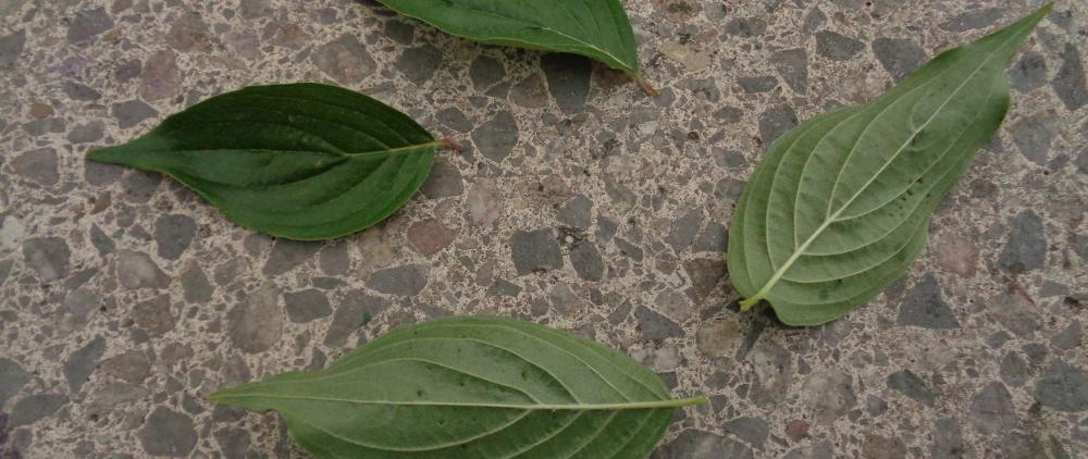 Kornelkirsche bestimmen – Blattober- und unterseite