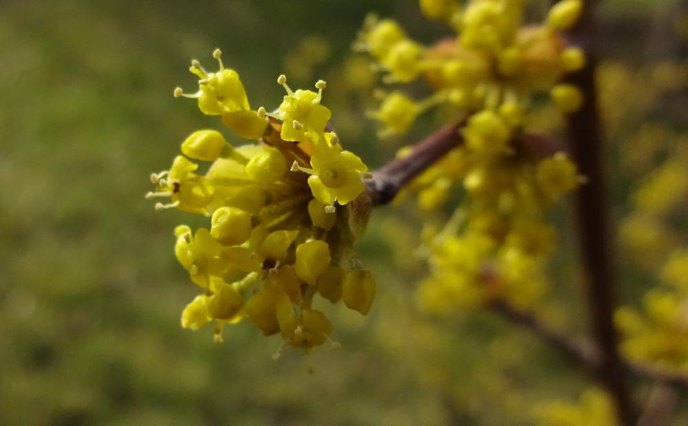 Kornelkirsche bestimmen – Blütendolde