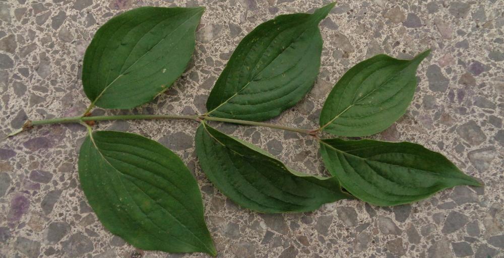 Kornelkirsche bestimmen – Gegenständige Blätter