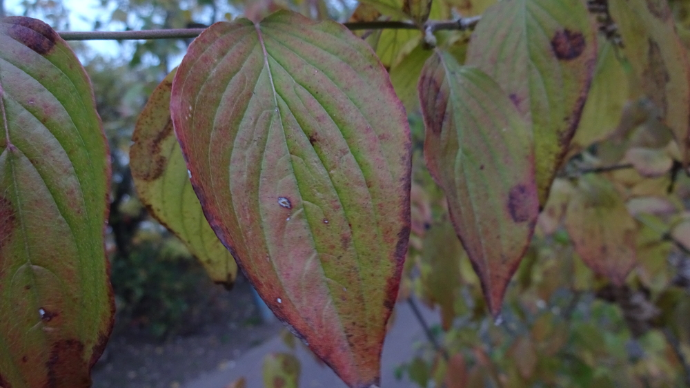 Kornelkirsche bestimmen – Herbstfärbung