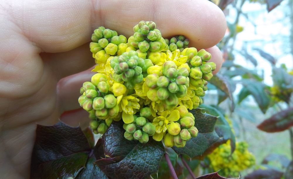Mahonie bestimmen – Blütenknospen