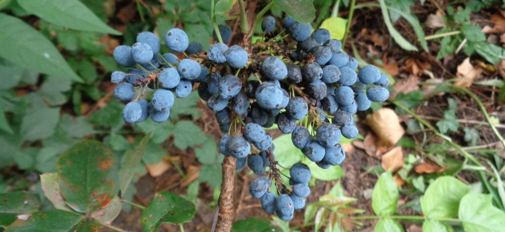 Mahonie bestimmen – Reife Früchte
