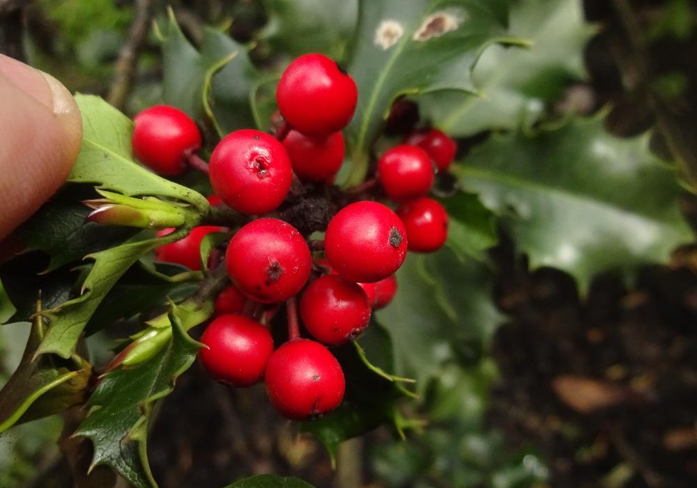 Mahonie bestimmen – Stechpalmenfrüchte