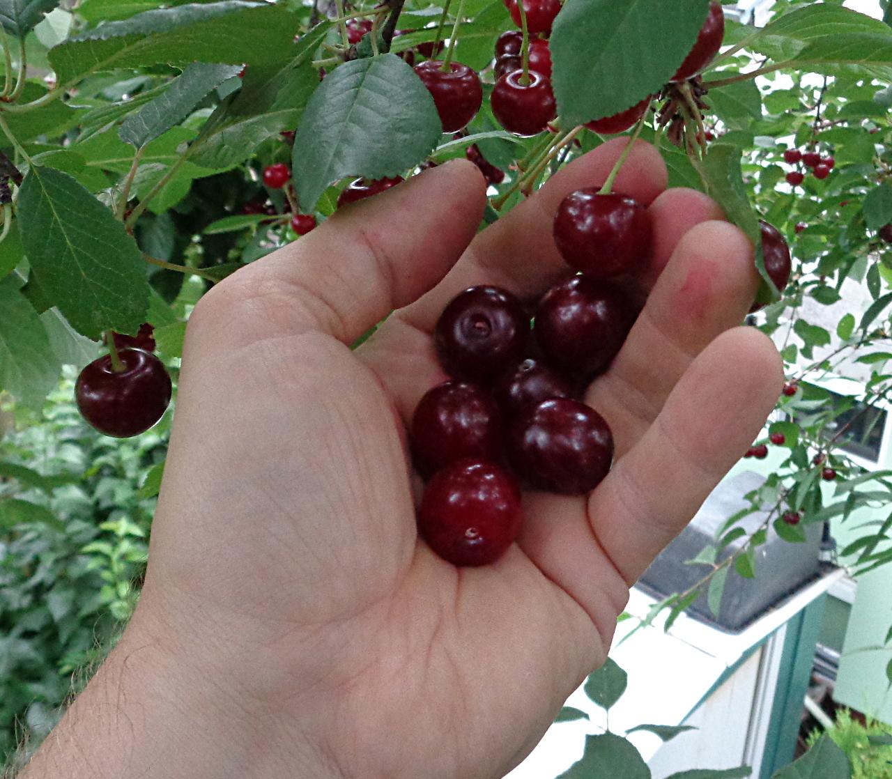 Sauerkirschen ernten und entkernen - 6 Früchte