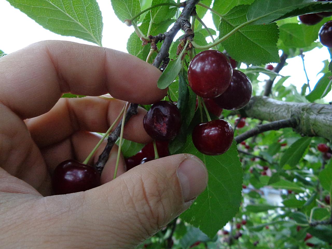 Sauerkirschen ernten und entkernen - Gammelfrucht