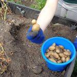 Aus der Gartenküche – Kartoffeln ernten und zu Pommes machen