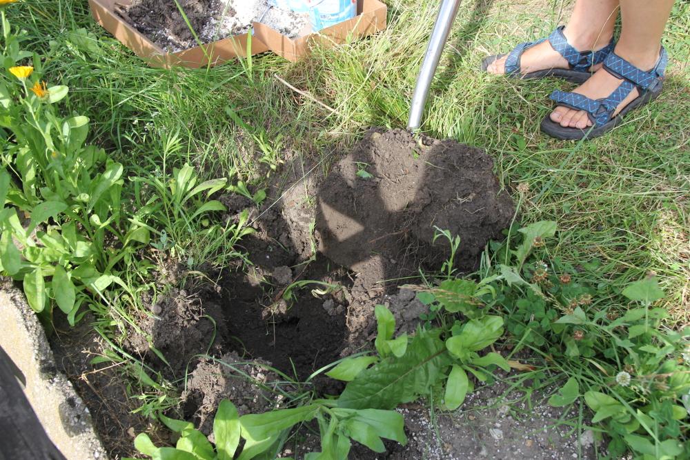 Schwarze Johannisbeere pflanzen - Pflanzloch