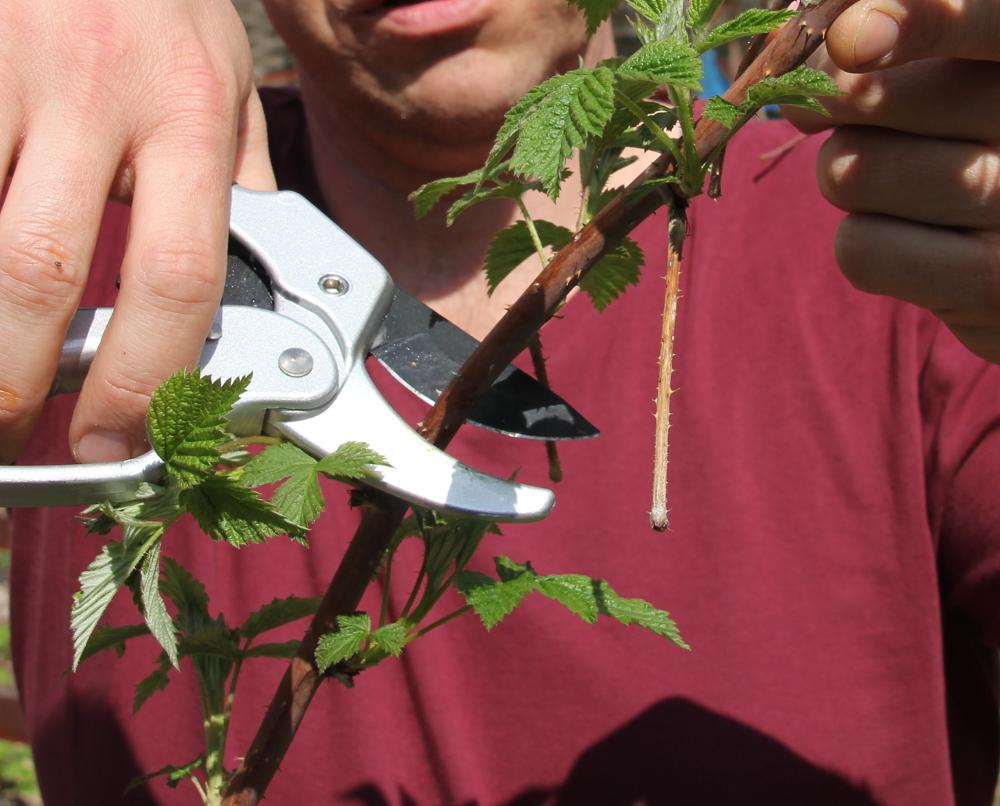 Sommerhimbeeren pflegen - Himbeerrute schneiden