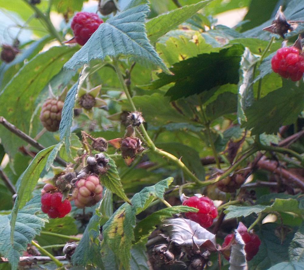 Sommerhimbeeren pflegen - Magere Fruchtqualität