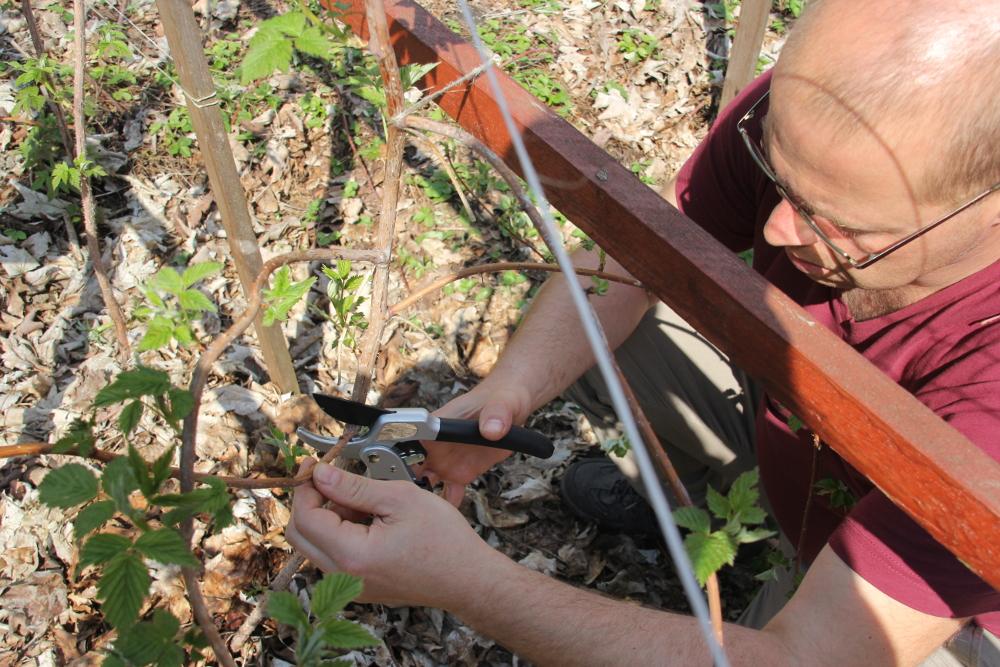 Sommerhimbeeren pflegen - Unten herum ausdünnen