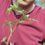 Obstgehölze hegen und pflegen – Frühjahrspflege für Sommerhimbeeren