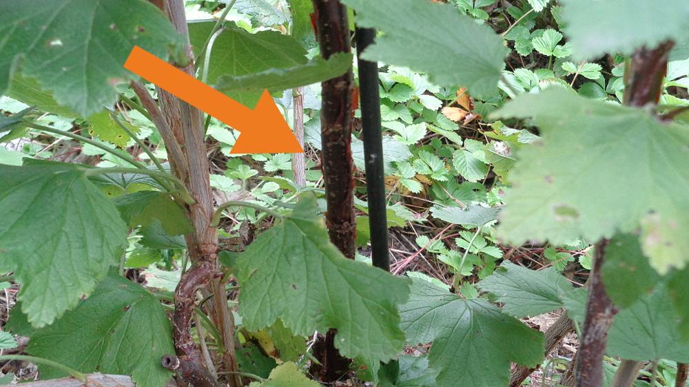 Weiße Johannisbeere zur Spindel umwandeln – Haupttrieb auswählen