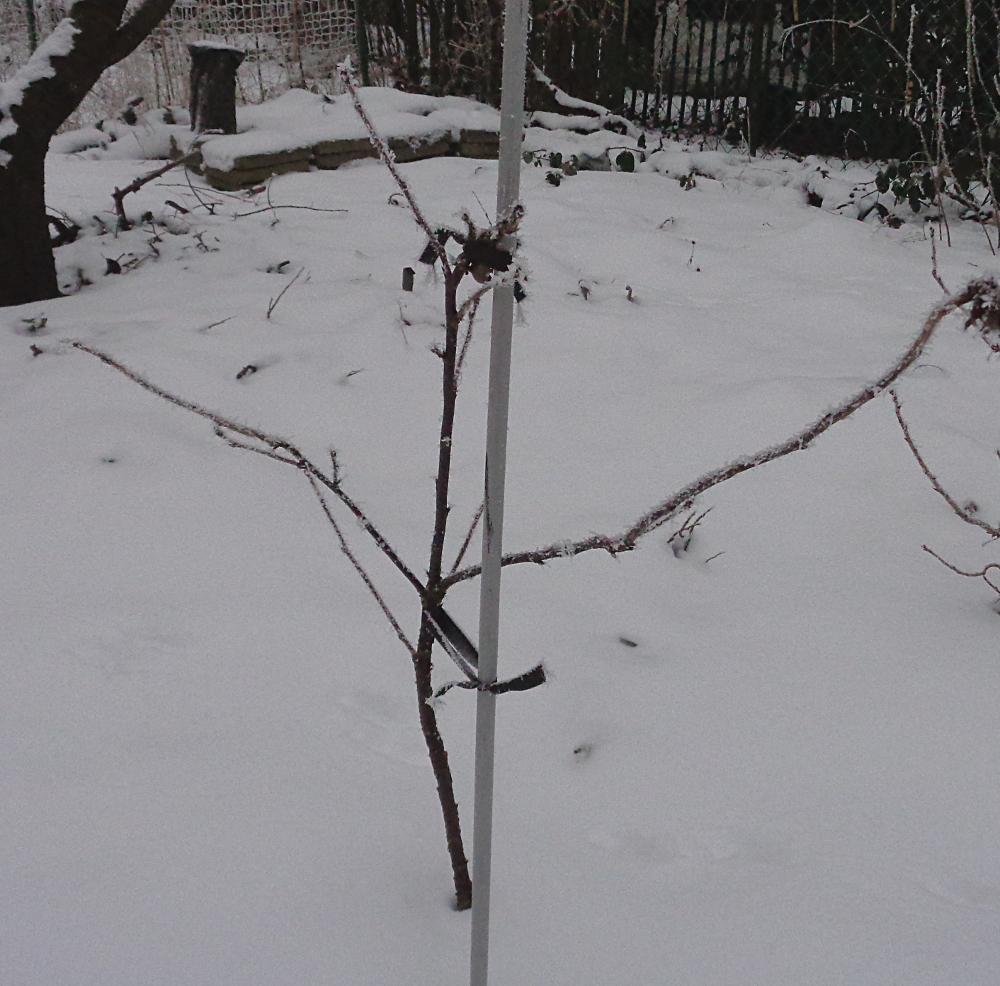 Weiße Johannisbeere zur Spindel umwandeln – Im Winter
