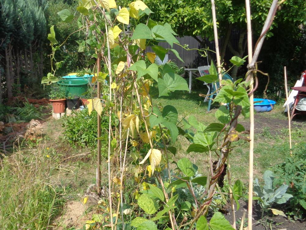 Stangenbohnen ernten – Bohnenbeet