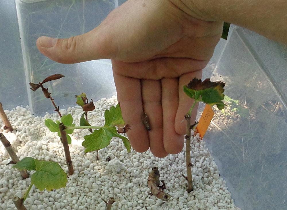 Stecklingsvermehrung in Kisten mit Perliten - Abgestorbene Pflanzenteile aussortieren