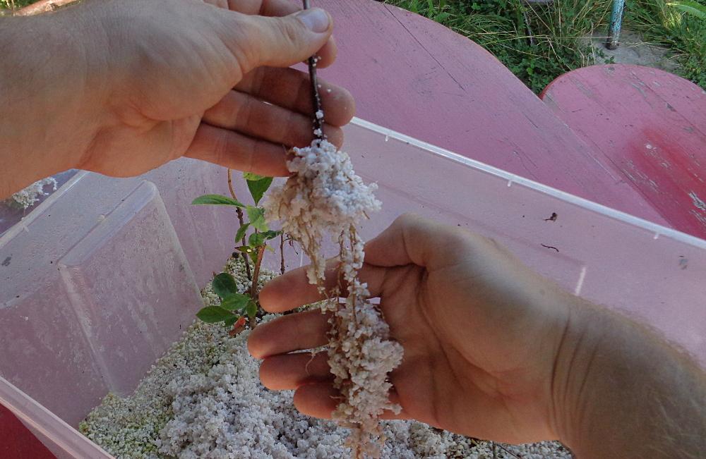 Stecklingsvermehrung in Kisten mit Perliten - Frisch bewurzelte Pflanze