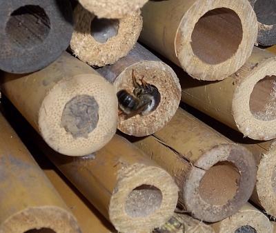 Biene im Bambusstangenwald