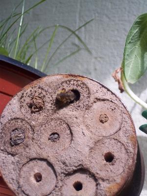 Wildbiene im Dosenhotel