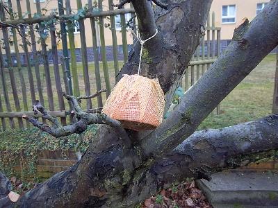 Ohrenkneiferwohnung im Apfelbaum