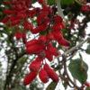 Obstgehölze bestimmen – Berberitzen