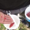 Kleines ABC der Erntehilfen – Berberitzen ernten und verarbeiten