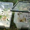 Obstgehölze selbst vermehren – Neue weiße Johannisbeeren durch Stecklinge