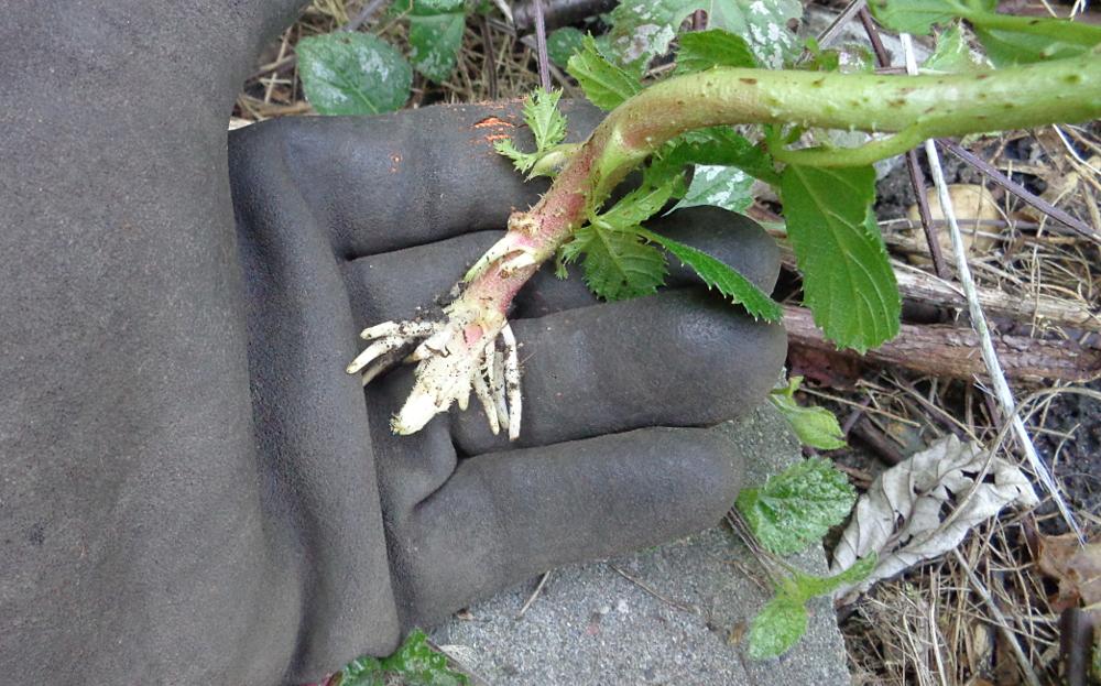Obstgeholze Selbst Vermehren Neue Weisse Johannisbeeren Durch