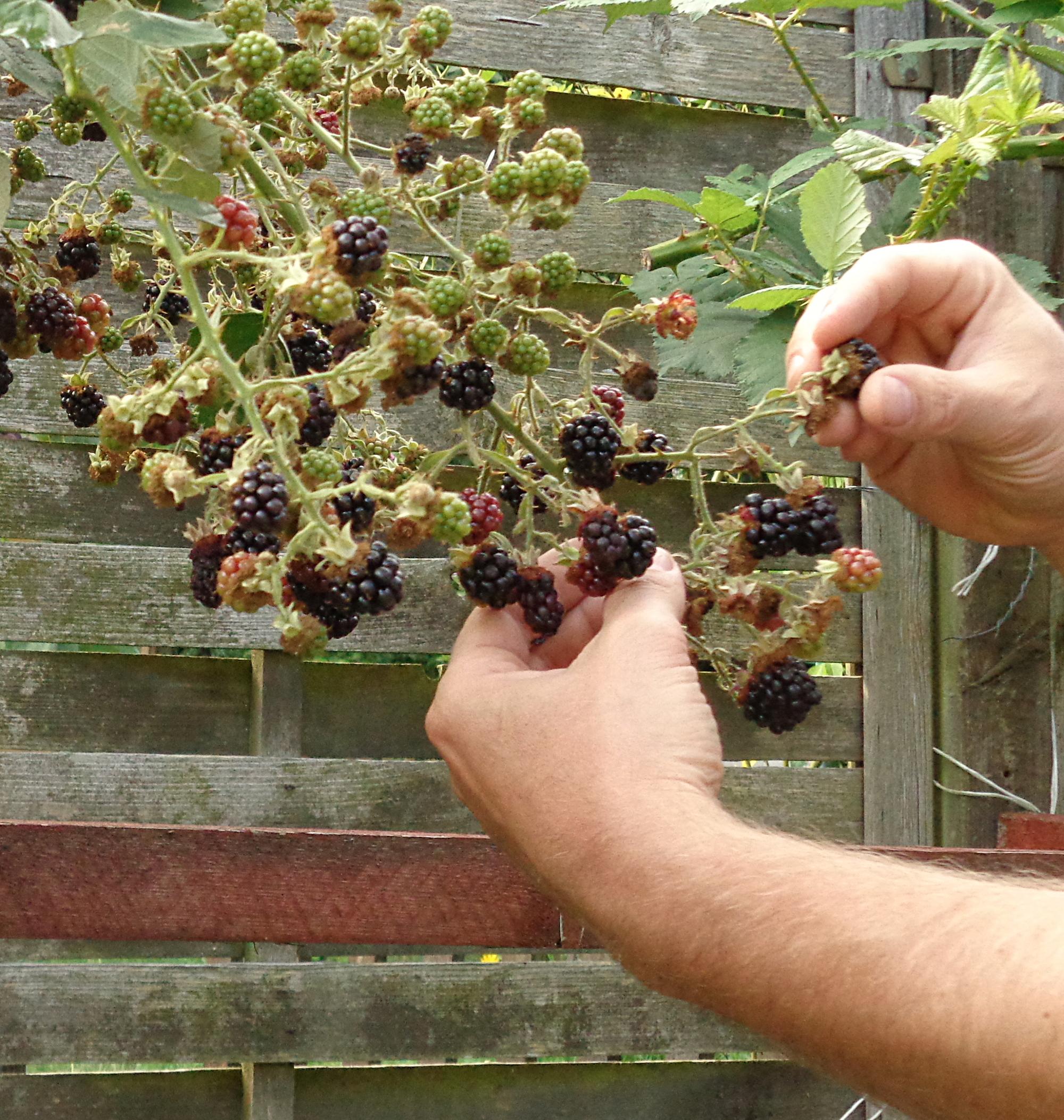 Kleines Abc Der Erntehilfen Brombeeren Ernten Und Entkernen