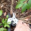 Obstgehölze hegen und pflegen – Buschpflege bei Heidelbeeren im Sommer nachholen
